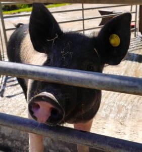 farm-blog-life-on-the-farm-pigs-piglets-rearing-960x1024