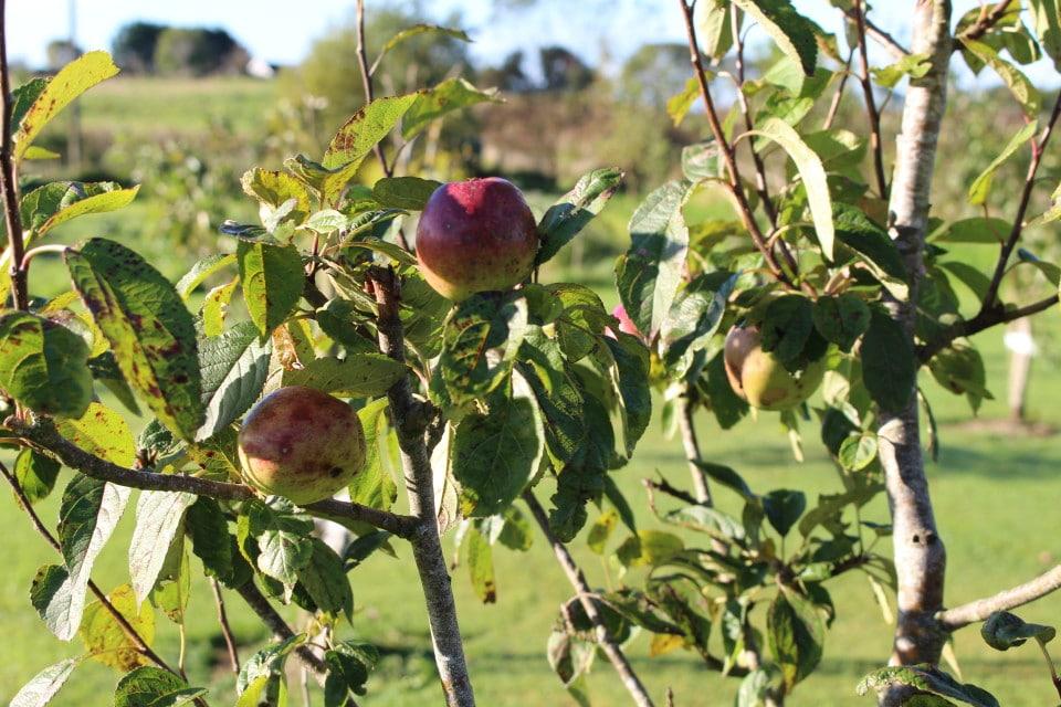 slow-lifestyle-gardening-seasonal-food-october-autumn-apples-960x640