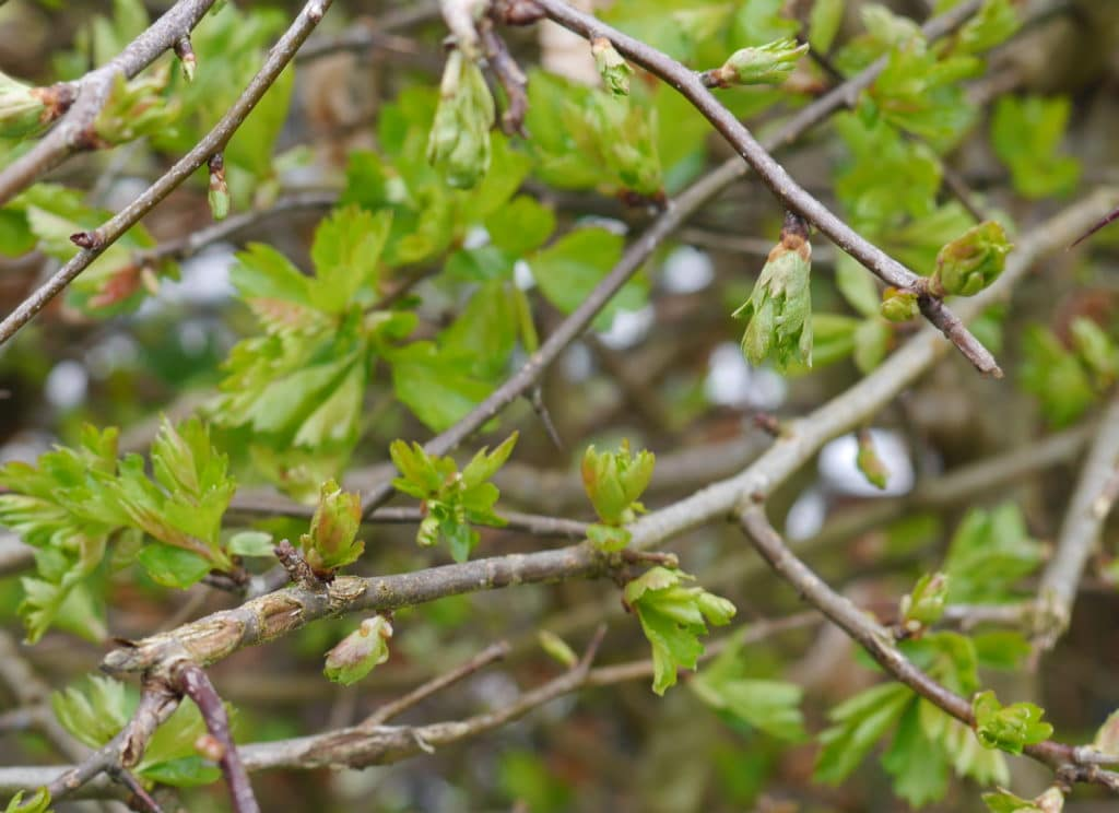 wild-food-foraging-april-may-hawthorn-leaves