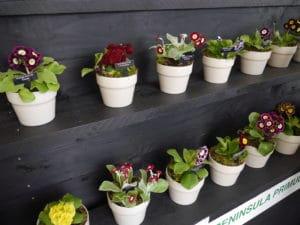 primula-theatre-idea-garden-show-ireland