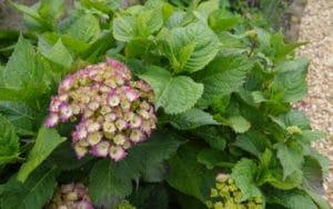 hydragena-lace-cottage-garden-1080x675