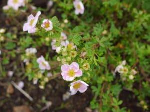 pretty-cottage-flowers