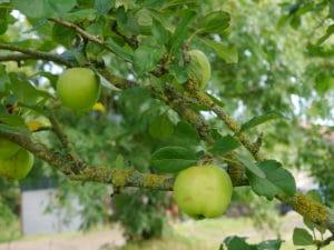 apple-trees-september