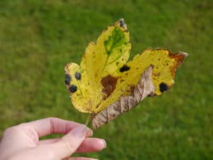 early-autumn-leaves-antrim