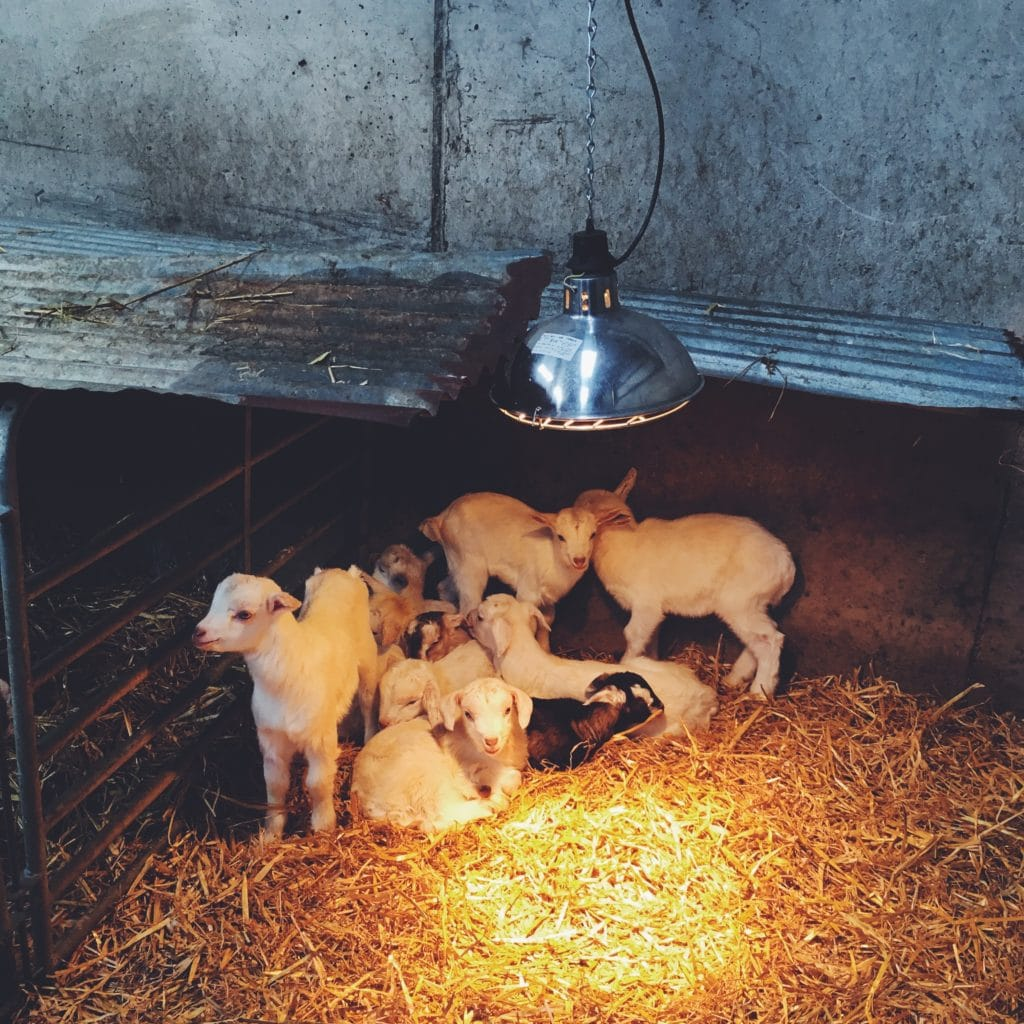 baby-goats-homesteading