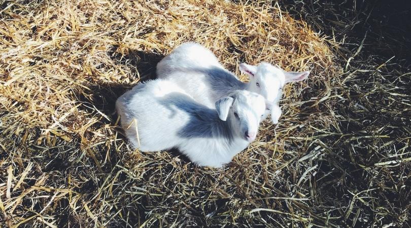 day in the life farmers wife sahm goat farmer
