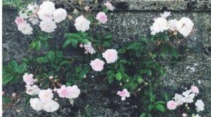 growing roses edible