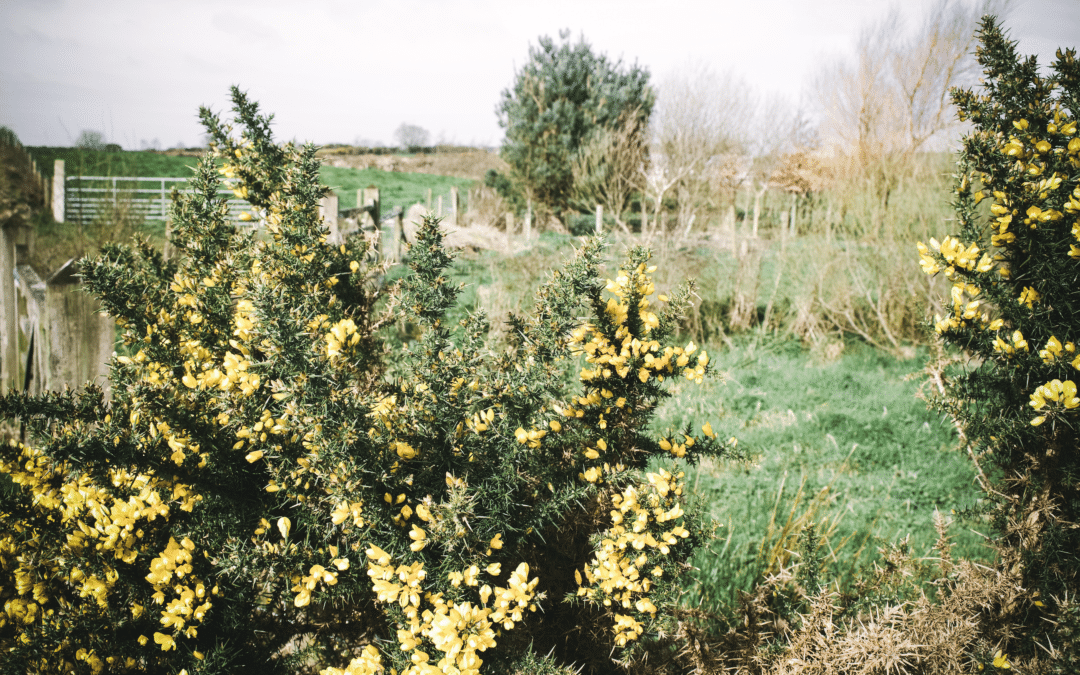 Herbal Spotlight on Dandelion & Gorse-Foraging, Recipes & Remedies