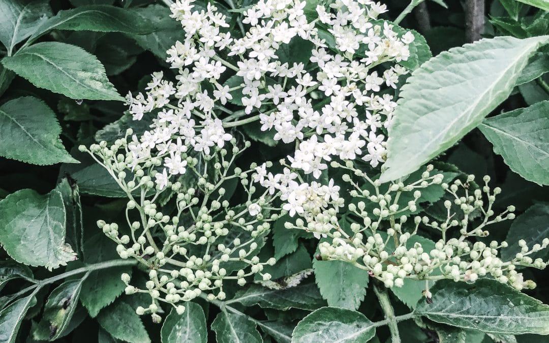 Ultimate Guide to Elderflowers and Elderberries