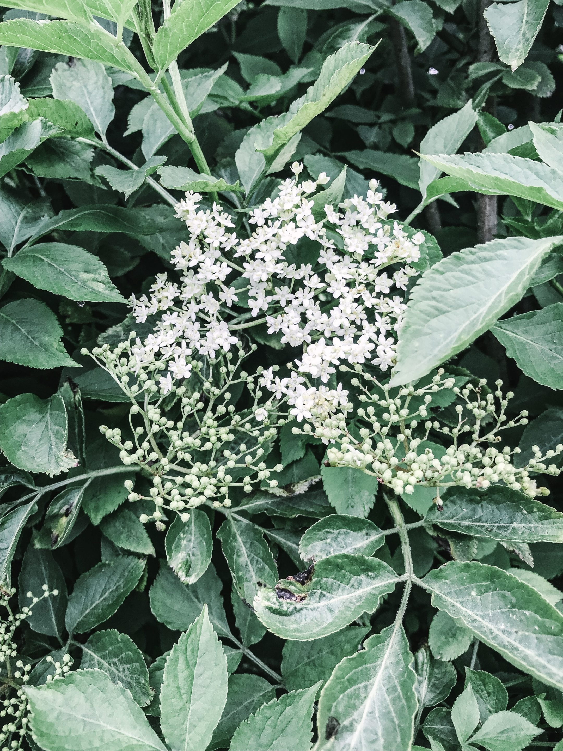 Ultimate Guide to Elderflowers and Elderberries
