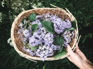 edible flowers lilac spring flowers foraging spring