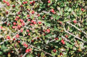 autumn berries hawthorn 2
