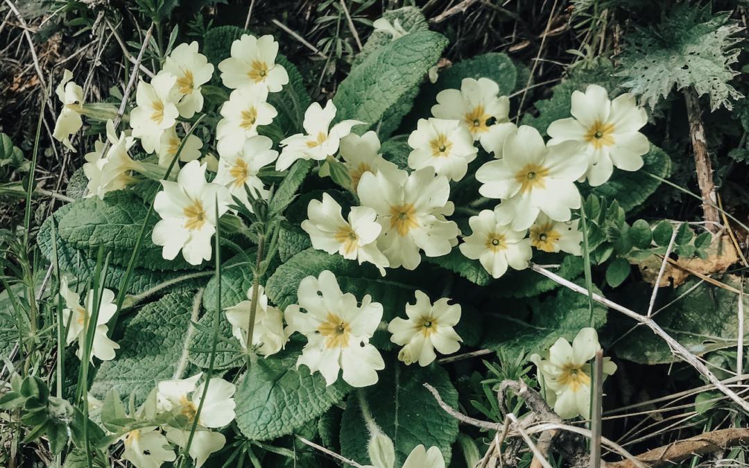 spring primroses slow living 2